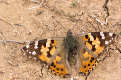 Painted Lady (Top) (siamesepuppy) Tags: california macro canon butterfly bug insect 100mm arthropoda invertebrate paintedlady entomology arthropod sanbernardino mormonrocks 60d