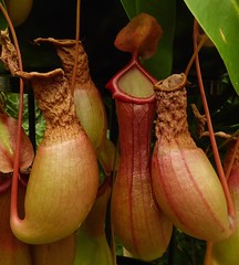 Pitcher us together! (Englepip) Tags: uk plant london kew carnivorous carnivores pitcherplant carnvoro vascularplants sunpitcherusine plantasunpitcher sunpitcherpflanze fleischfress