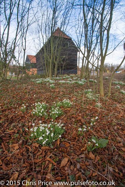 Snowdrops in Bramley