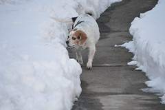Winnie (Wright1968) Tags: winter dog snow beagle winnie