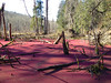 Pink beaver pond (salmongreg) Tags: beaverpond waterfern azollamexicana