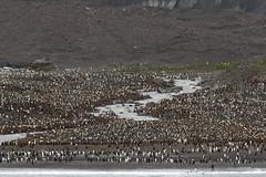 King Penguin colony (Baractus) Tags: st john georgia penguin bay king andrews south le oates boreal inthewakeofshackleton