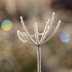 La jongleuse *** (Titole) Tags: frost bokeh squareformat diffraction umbellifer umbel explored ombellifère ombelle unanimouswinner friendlychallenges thechallengefactory storybookwinner titole nicolefaton