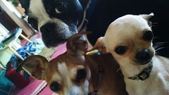 watching me sing along to Gulch Radio (EllenJo) Tags: pets chihuahua simon home dogs bostonterrier ivan hazel motorolacameraphone attentive digitalimage motox 2015 chiweenie january4 ellenjo ellenjoroberts sittingonmylap january2015