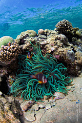 Red Sea Anemonefish (Day Is Coming) Tags: blue fish seascape coral happy nemo dahab redsea egypt diving clownfish sinai overunder underwaterphotography ikelite jacquesdevos