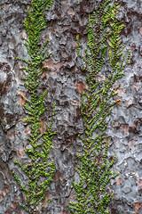 Tane Mahuta Bark (fotofrysk) Tags: newzealand tree green forest big vine bark northisland northland biggest tanemahuta kauritree lordoftheforest nikond7100 waipouastatepark 201411102979 biggesttreeinnz