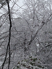 Snowy Trees (Fira Marina) Tags: trees winter snow home louisiana snowy southern snowfall snowcoveredtrees oldtrees snowybranches