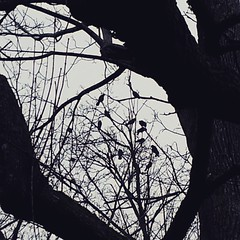 Crows hanging out