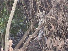 Baby Leopard Climbing