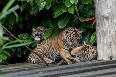 IMG_7251 (mike6480) Tags: animals zoo tiger chester cubs tigercubs chesterzoo