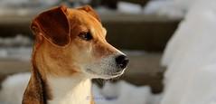 51/365 (Gene1138) Tags: dog snow beagle dogs canon lucy 365 beagles canon70d canon28300mmeff3556l
