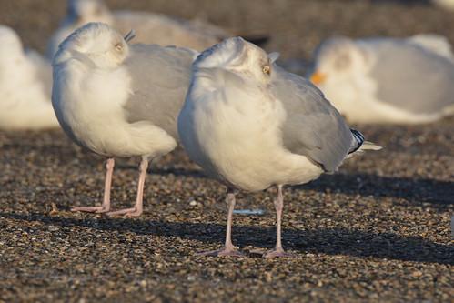 Larus argentatus argenteus (European Herring Gull / Zilvermeeuw)