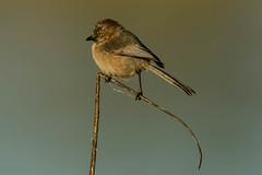 Bushtit Beauty (cetch1) Tags: wild nature birds wildlife birding bushtit psaltriparusminimus lasgallinas femalebushtit northerncaliforniabirding