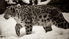 "Snow leopard ""Sagar"" (Saarblitz) Tags: schnee wild cats snow canon germany zoo leopard katzen saarland sagar sigma50500 neunkirchen saarblitz eos70d"