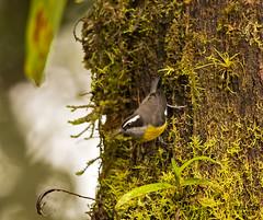 bananaquit (Christian Sanchez Photography) Tags: naturaleza nature birds ecuador costarica bananaquit ecuadorbirds costaricabirds colorsbirds