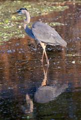 _74P5787.jpg (Lake Worth) Tags: bird nature birds animal animals canon wings florida wildlife feathers wetlands everglades waterbirds southflorida 2xextender sigma120300f28dgoshsmsports