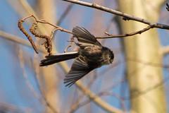 Long-Tailed Tit flies off (gary252uk) Tags: ireland nature birds woodland flying spring wings wildlife flight takeoff crawfordsburn irishwildlife