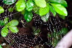 Afuera esta lloviendo amor (rvm2616) Tags: verde green animals garden insect spider jardin animales insecto