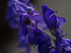 Aconitum Napellus - Monkshood (in our hedge) (Unni Henning) Tags: blue summer england macro closeup garden blossom tall warwickshire monkshood aconitumnapellus