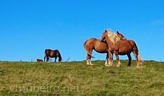 Caminho Francs de Santiago (vmribeiro.net) Tags: saintjeanpieddeport france frana saint jean pied port sony z1 caminho camino way jacques james santiago rota napoleo pirenus pyrenees mountain trail horses cavalos wild