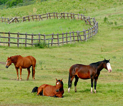 Happy Fence Friday! (Colorado Sands) Tags: fence woodfence horses snowmass colorado sandraleidholdt animal three hff pitkincounty field rusticfence