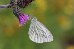 Rapsfjäril 'Pieris napi' (På upptäcktsfärd i naturen) Tags: blåberga juli 2016 fjäril fjärilar äktadagfjärilar papilionoidea vitfjärilar pieridae äktavitfjärilar pierinae pieris pierini