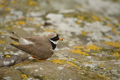 A Common Ringed Plover (Charadrius hiaticula) faking a injury to lure predators away for the nest (Jan Ranson) Tags: 2016 scotland bontbekplevier charadriushiaticula