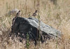 IMG_1354 Hot Horned Larks (Jon. D. Anderson) Tags: bird lark hornedlark eremophilaalpestris