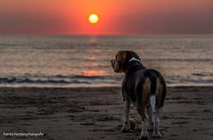 DSC_0092 (Patrick Herzberg) Tags: holland dutch strand zonsondergang nikon nederland thenetherlands hond avond dieren noordwijk weerspiegeling avondfotografie d5200