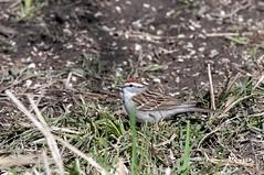 2016 Chipping Sparrow (DrLensCap) Tags: park chicago bird robert nature illinois village north center il sparrow kramer chipping