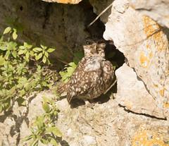 Little Owl (chitsngiggles) Tags: nature portlandbill wildlife littleowl owl