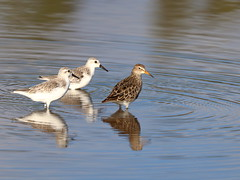 And then there were three! Pectoral Sandpiper & Sanderlings (s_uddin59) Tags: hawaii oahu northshore kahuku sanderling pectoralsandpiper calidrismelanotos kahukushrimppond