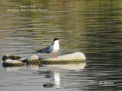 Forster's  Tern (Edhorton) Tags: henderson bird viewing preserve las vegas nevada wildlife forsters tern