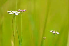 Pure and simple. (pstone646) Tags: flowers colour green nature closeup kent flora bokeh meadow grasses wildflowers