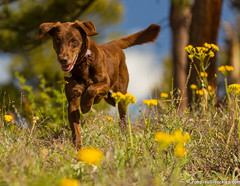 Dancing through the Wildflowers (KB RRR) Tags: colorado frontrange chocolatelabrador shyla
