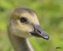 Gosling (jt893x) Tags: 150600mm bird brantacanadensis canadagoose d500 geese goose gosling jt893x nikon nikond500 portrait sigma sigma150600mmf563dgoshsms waterbird