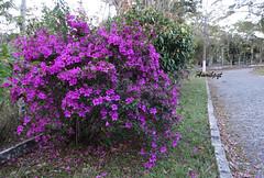 Happy Father's Day! Feliz Dia dos Pais! (Arlete M) Tags: fathersday diadospais flowers brasil brazil azaleia rhododendronsimsii piquetesp winter inverno