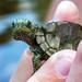 Little Map Turtle