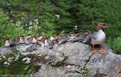 Grand harle / Common merganser (Maxime Legare-Vezina) Tags: bird oiseau nature wild wildlife animal biodiversity duck canard canon ducklings fauna ornithology