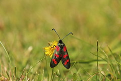 Six Spot Burnet (Tony Howsham) Tags: insect in my garden canon eos 70d sigma 18250 moth
