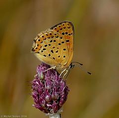 Cuivré fuligineux (Lycaena tityrus)  ♀ (zogt2000 (No Video)) Tags: cuivrécommun lycaenaphlaeas papillon butterfly douarbrioloch plomeur bretagne