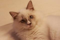 Canon_20160819001 (Snowy Olaf) Tags: kitten britishlonghair       feliscatus   canon eos400d ef50mmcompactmacro f25