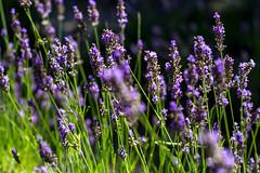 LAVANDE IMG_2019 (photo.bymau) Tags: bymau canon 7d lavande sud fleur nature flower lavender