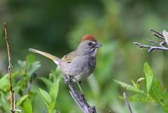 Green-tailed Towhee (Jonah Benningfield) Tags: coth5 ngc npc