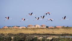 Flamingo's Flight (Cristiano Drago) Tags: cristianodrago canon 650d trapani sicili sicily flamingo fenicotteri rosa pink mulini mill sky cielo blu blue ilobsterit nationalgeographic volo fly