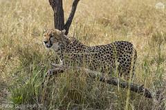 Ghepardo, Cheetah, Acinonyx jubatus (paolo.gislimberti) Tags: tanzania serengeti africanparks parchiafricani africanmammals mammiferiafricani felini felines carnivori flesheatinganimals predatori predators mimicry mimetismo animaliambientati animalsintheirenvironments savana savannah wildlife safarifotografico photographicsafari touristdestinations meteturistiche
