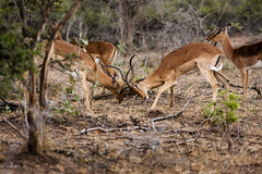 Impala Playing (Johan Westerbrink) Tags: wildlife southafrica holiday vakantie kruger national park nature natuur animal pet dog outdoor texture carnivore depth field