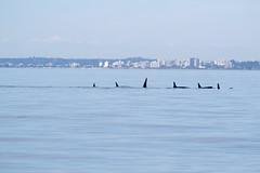 fourhourtour jpod kpod porttownsend pugetsoundexpress redhead killerwhale orca whalewatchingtour