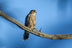 Faucon merillon (Roy Yves) Tags: yvesroy faucon merillon
