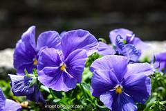 Aya Sofya7-0472rw (Luciana Adriyanto) Tags: travel turkey istanbul museum ayasofya hagiasofia flowers v1olet lucianaadriyanto